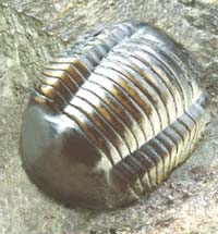 trilobite_fossile